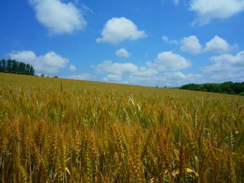 赤麦の丘_f0096216_209765.jpg
