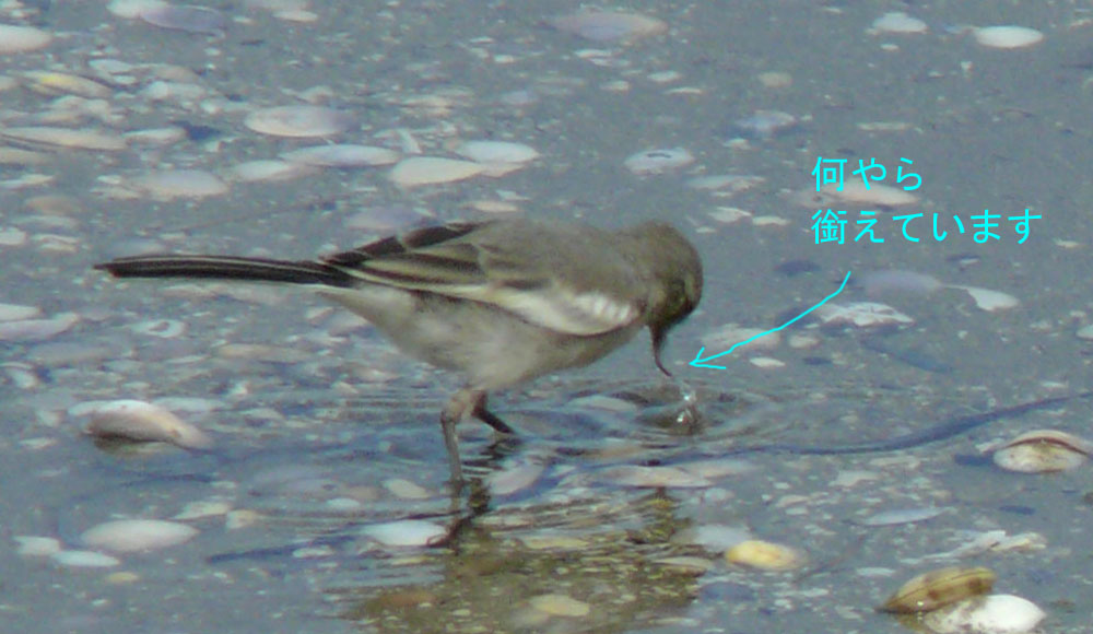 ハクセキレイの幼鳥_e0088233_20363828.jpg