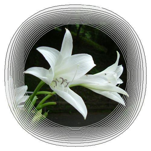 インドハマユウ