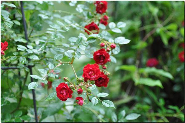 シャレーグリンデルの庭に咲く_d0109415_2213592.jpg