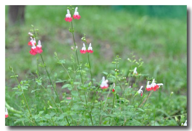 シャレーグリンデルの庭に咲く_d0109415_2224184.jpg