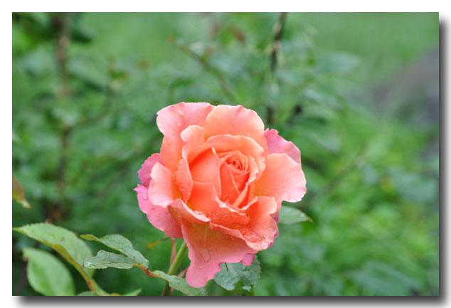シャレーグリンデルの庭に咲く_d0109415_2232921.jpg