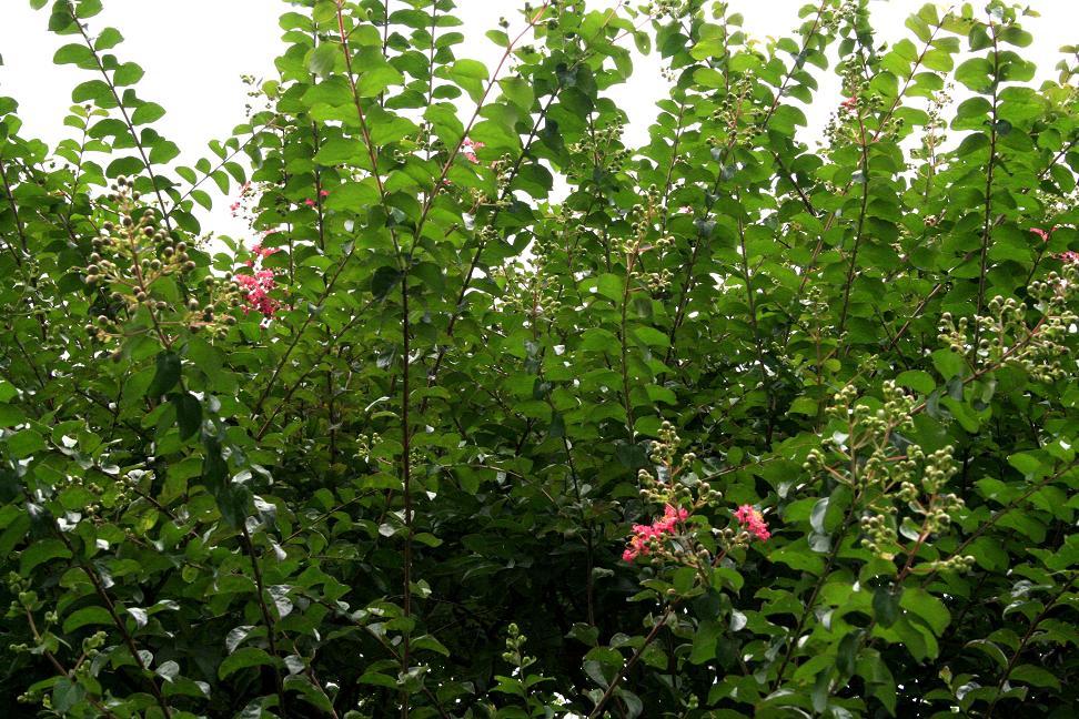 サルスベリ(百日紅)が咲き始めました_a0107574_1356368.jpg