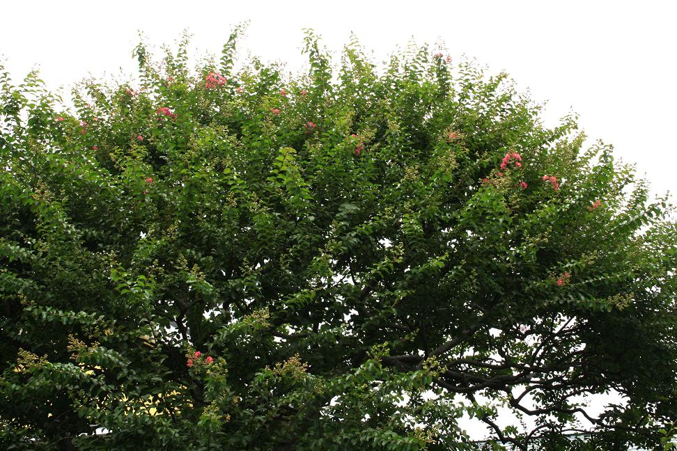 サルスベリ(百日紅)が咲き始めました_a0107574_13574019.jpg