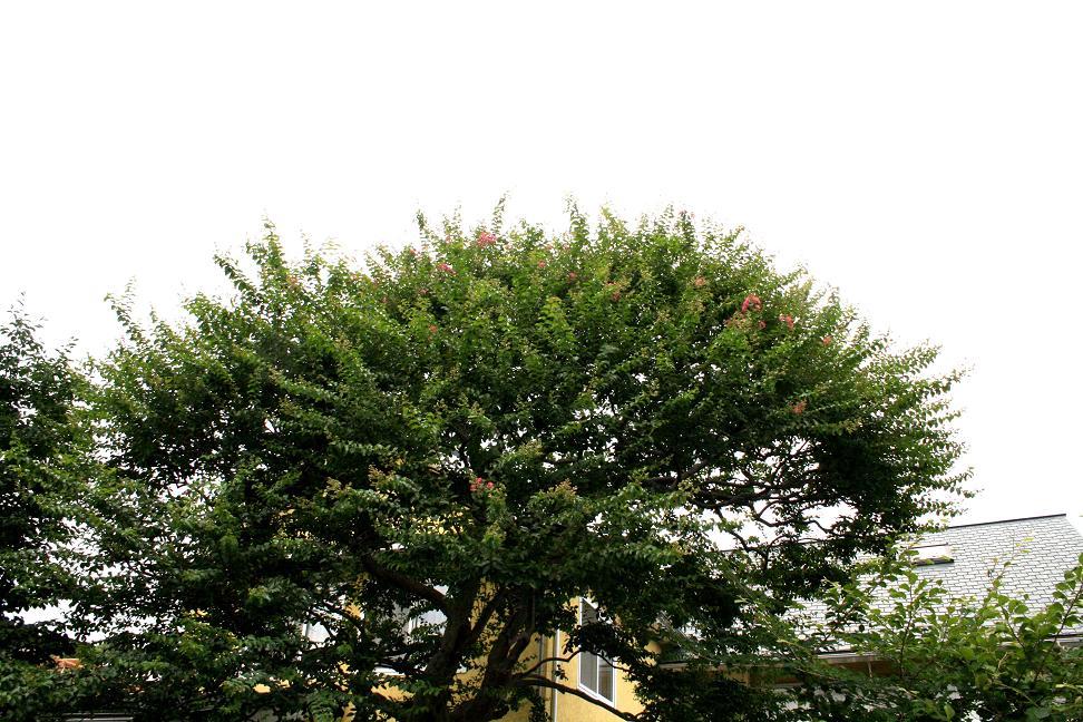 サルスベリ(百日紅)が咲き始めました_a0107574_1357521.jpg