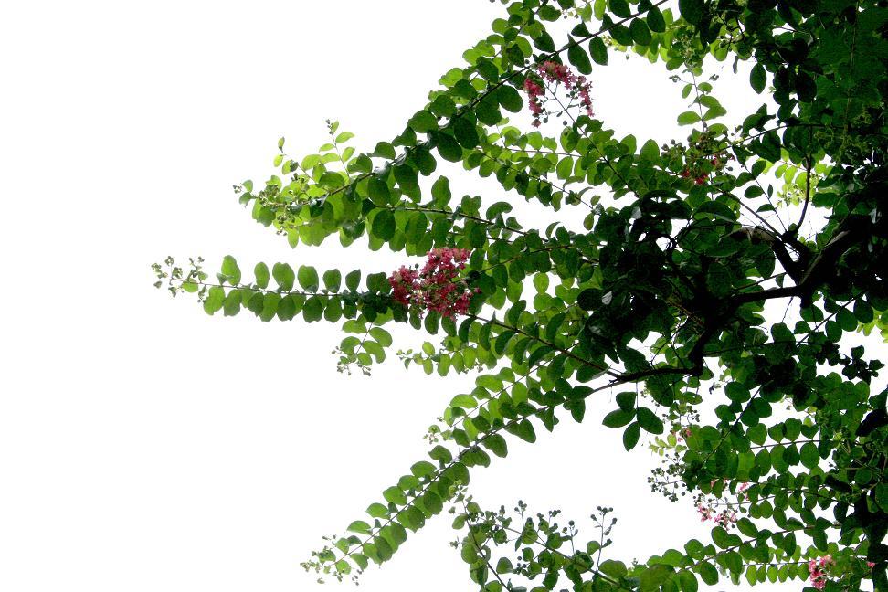 サルスベリ(百日紅)が咲き始めました_a0107574_1723450.jpg