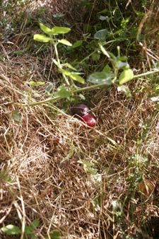 今年もスモモを収穫しました_f0106597_20214048.jpg