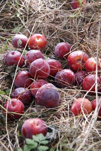 今年もスモモを収穫しました_f0106597_20223618.jpg