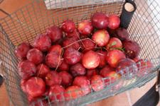今年もスモモを収穫しました_f0106597_2026534.jpg