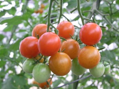 ++「うまトマト」に会いたくて++_e0140921_20224671.jpg