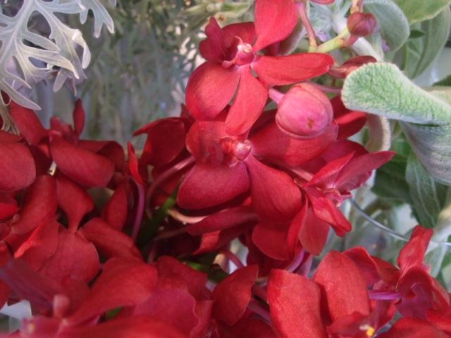 オークリーフ(赤いスモークツリー)_f0049672_17342736.jpg