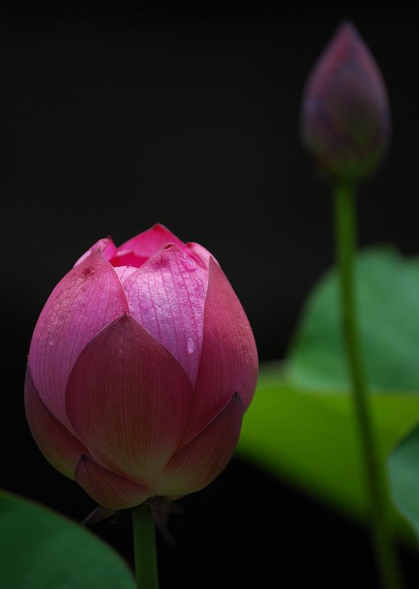 蓮の花_c0171945_216512.jpg