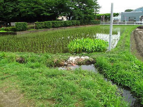 柴崎分水(立川分水)(4)中央線付近〜根川合流点直前まで_c0163001_1824159.jpg