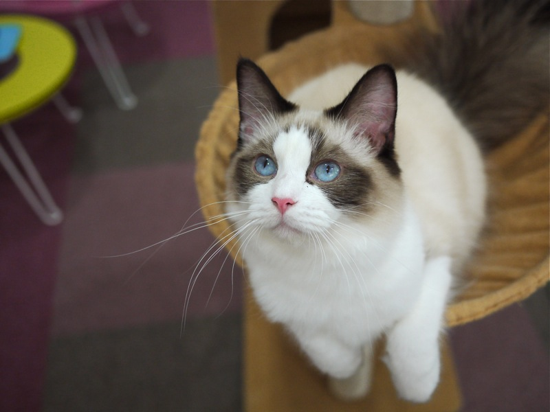 ねこ喫茶とうせい 猫スタッフ5  猫山細道の猫カフェ写真館