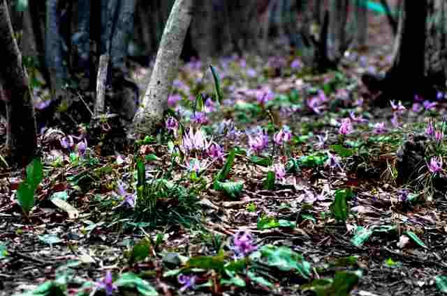 桜の時期に咲くカタクリの花_a0148206_15115391.jpg