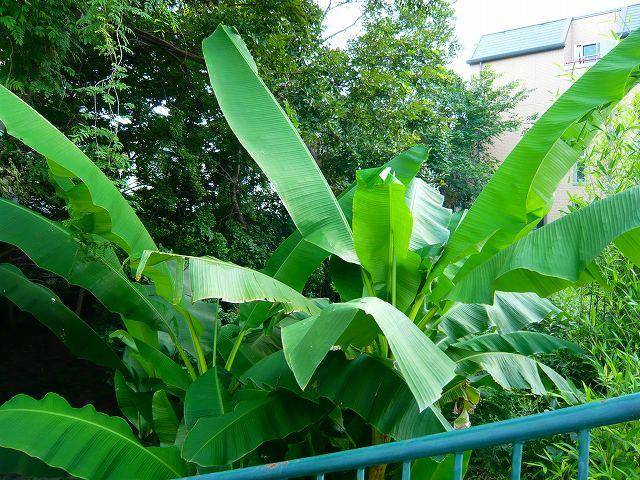 六甲にバナナの木!_f0223914_2115397.jpg
