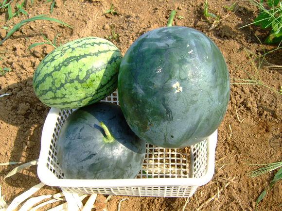 夏草に負けず....野菜が成長!_b0137932_15385360.jpg