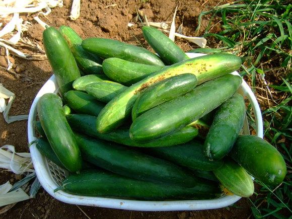 夏草に負けず....野菜が成長!_b0137932_15393559.jpg
