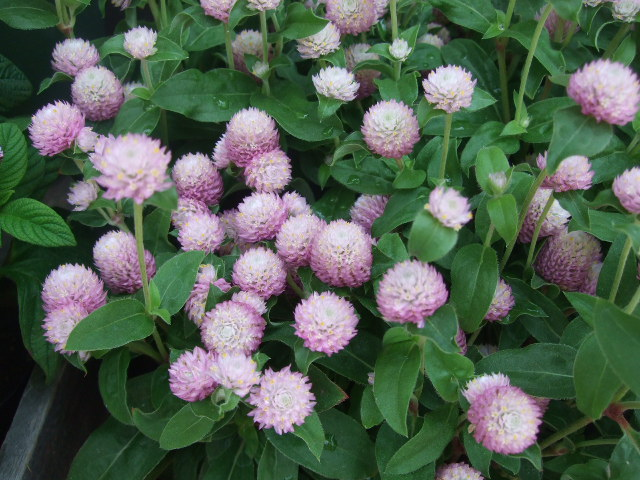 オークリーフ(涼を呼ぶ花たち)_f0049672_13471235.jpg
