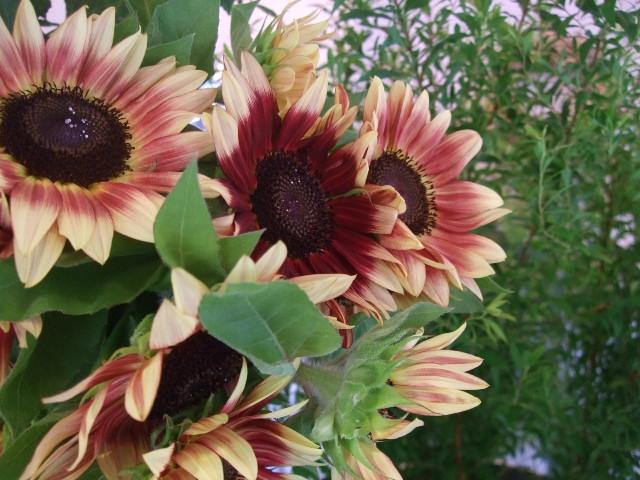 オークリーフ(涼を呼ぶ花たち)_f0049672_13523462.jpg