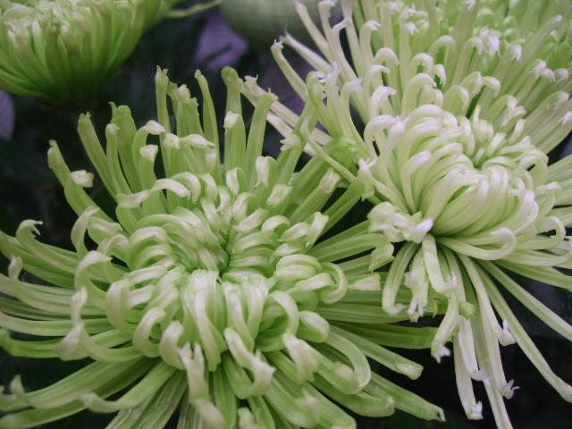 オークリーフ(涼を呼ぶ花たち)_f0049672_13524391.jpg