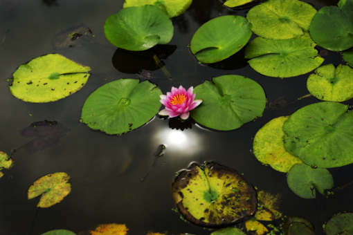 睡蓮 〜 Water lily 〜_f0171001_16495781.jpg