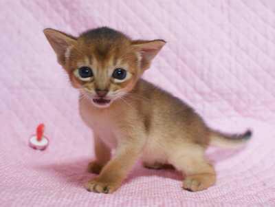 アビシニアン 生後3週目子猫 キャラメルちゃん_e0033609_20495066.jpg