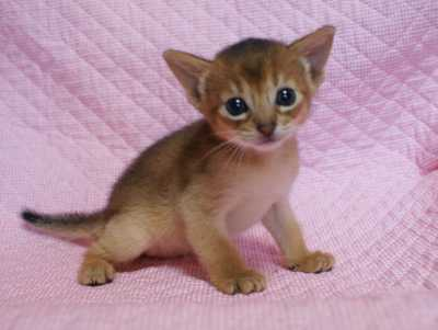 アビシニアン 生後3週目子猫 キャラメルちゃん_e0033609_2050066.jpg