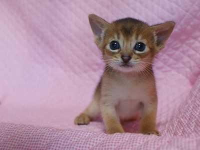 アビシニアン 生後3週目子猫 キャラメルちゃん_e0033609_20505621.jpg