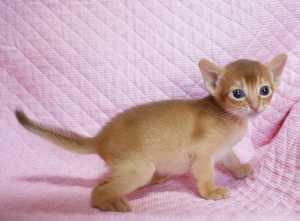 アビシニアン 生後3週目子猫 キャラメルちゃん_e0033609_20534076.jpg