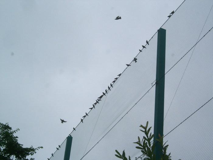 1311) ムクドリの群れとマガモの親子_f0126829_8143573.jpg