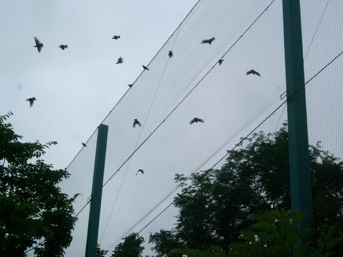 1311) ムクドリの群れとマガモの親子_f0126829_8144946.jpg
