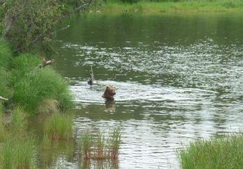 熊、クマ、くま   カトマイ国立公園 _b0135948_5554887.jpg