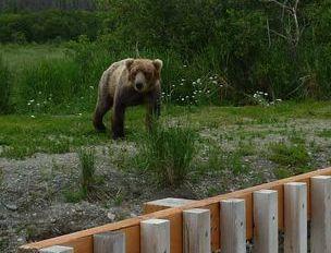 熊、クマ、くま   カトマイ国立公園 _b0135948_557593.jpg