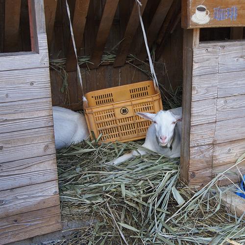 瑞穂の山の中の山羊さん_f0099102_115074.jpg