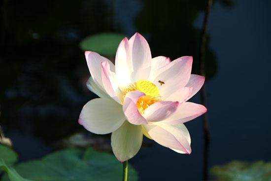天龍寺 放生池のハス_e0048413_19564763.jpg