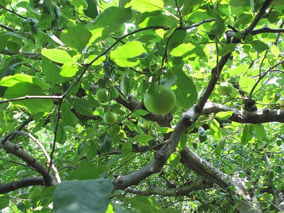 リンゴの木 _d0150720_647179.jpg