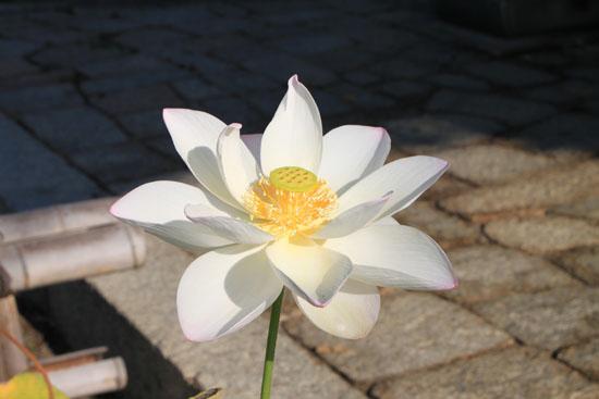 立本寺の大蓮_e0048413_15391837.jpg