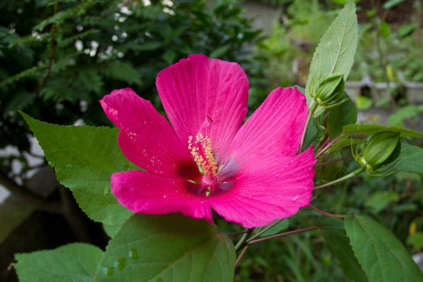 紅蜀葵(こうしょくき)_f0077521_8294281.jpg