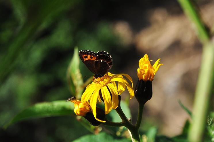 2010年想い出の蝶ランキング7位クモマベニヒカゲ_e0194952_21535761.jpg