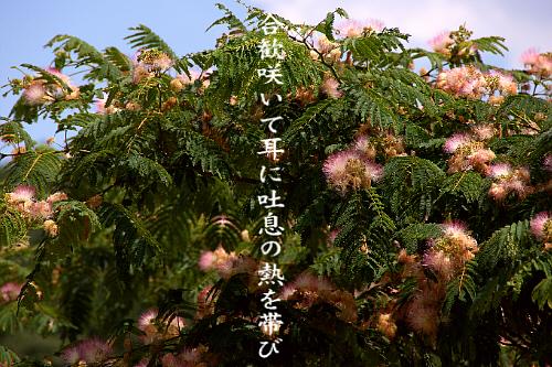 合歓の花_e0099713_21522454.jpg