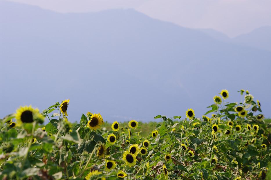 向日葵..._f0152550_22165989.jpg