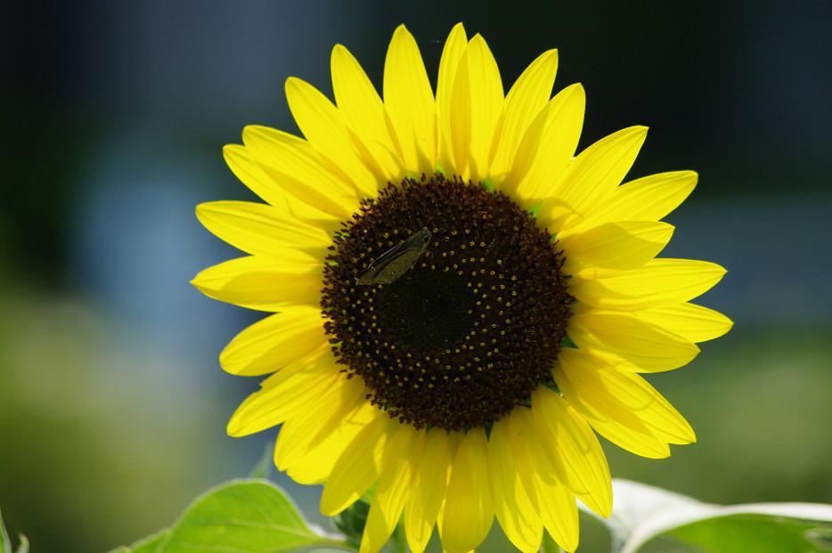 向日葵..._f0152550_22174454.jpg