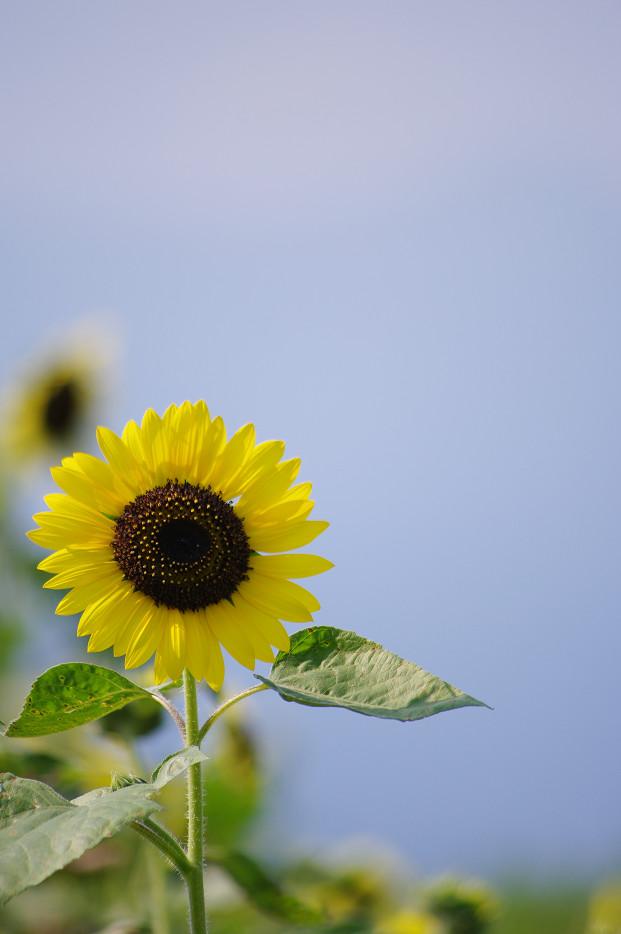 向日葵..._f0152550_2217774.jpg