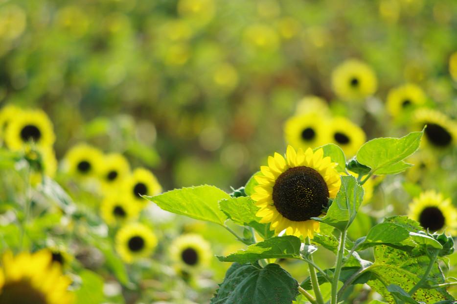 向日葵..._f0152550_22191362.jpg