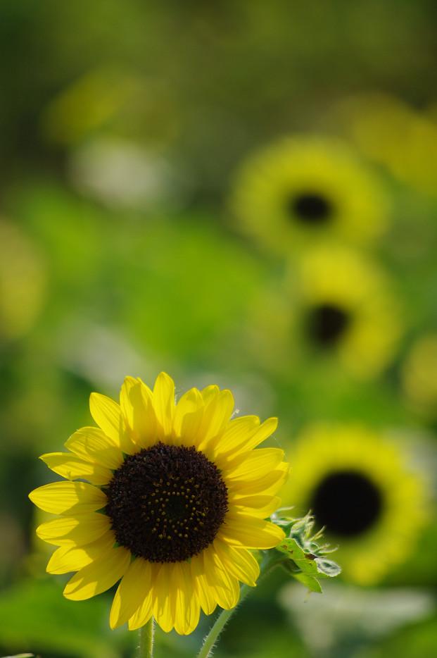 向日葵..._f0152550_2220271.jpg
