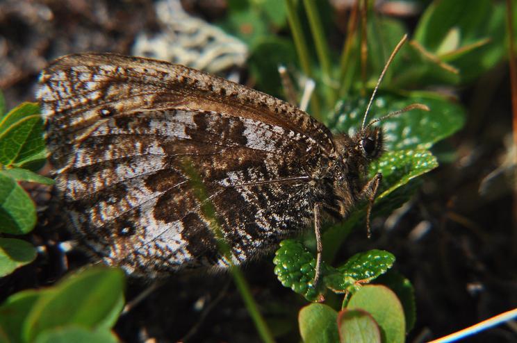 2010年想い出の蝶ランキング4位タカネヒカゲ_e0194952_20453259.jpg
