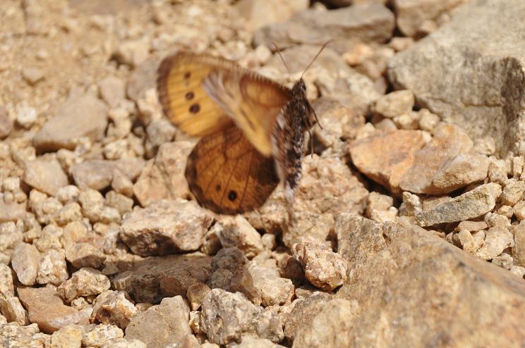 2010年想い出の蝶ランキング4位タカネヒカゲ_e0194952_21465691.jpg