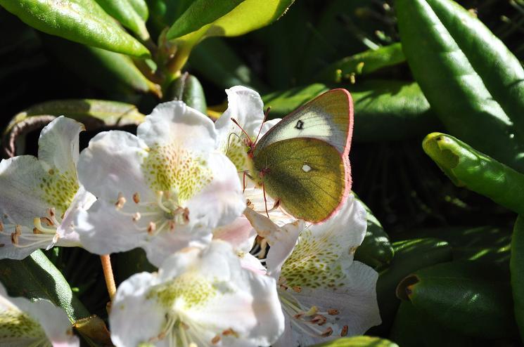 2010年想い出の蝶ランキング8位ミヤマモンキチョウ_e0194952_9165487.jpg