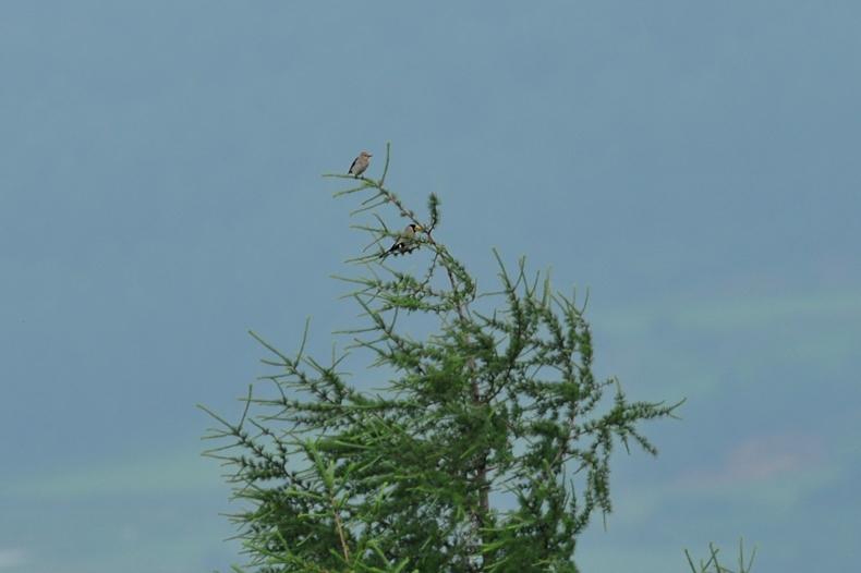 コムクドリ幼鳥(?)_f0053272_13474544.jpg